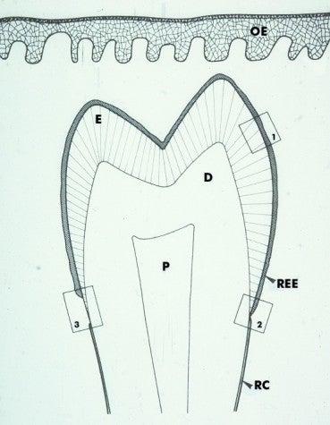 Cementogenesis development of coronal cementum diagram 1 for 3501 terrace street pittsburgh pa 15261