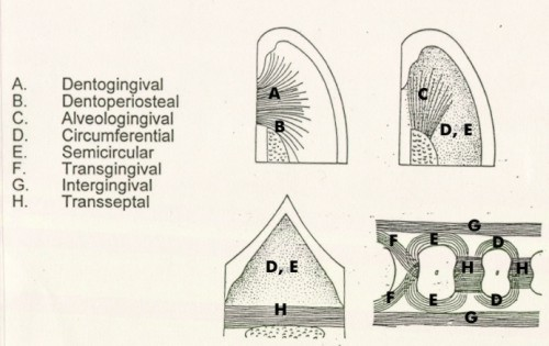 Gingival fibers classification diagram 1 school of for 3501 terrace street pittsburgh pa 15261