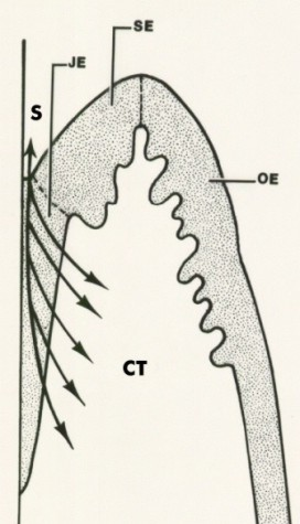 Junctional epithelium deutsch diagram 4 school of for 3501 terrace street pittsburgh pa 15261